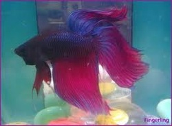 Betta Fish Illness
